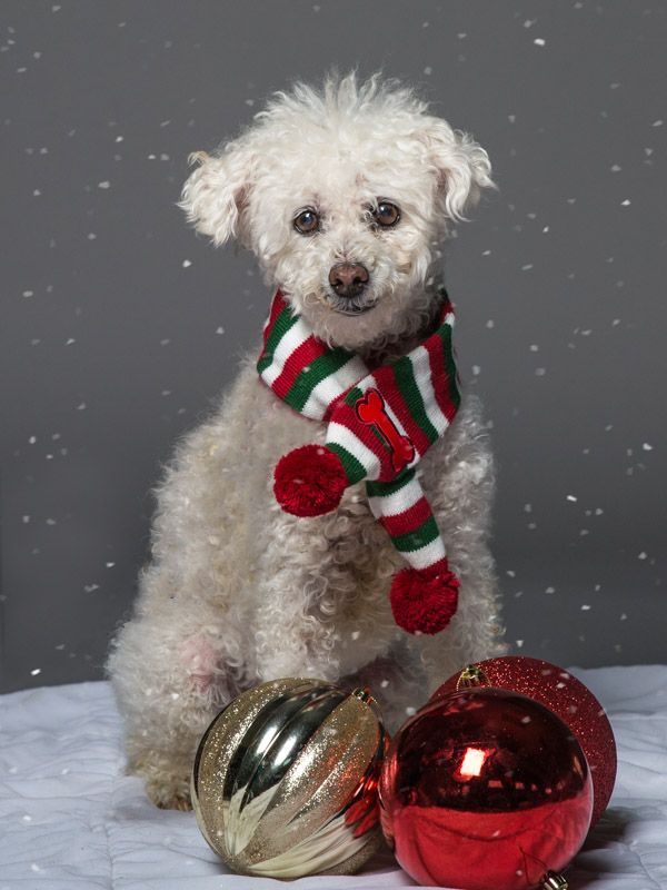 Holiday Pet Portraits & Snowy Gray Skies