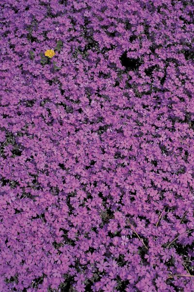 Purple Flower Bed Printed Vinyl Backdrop