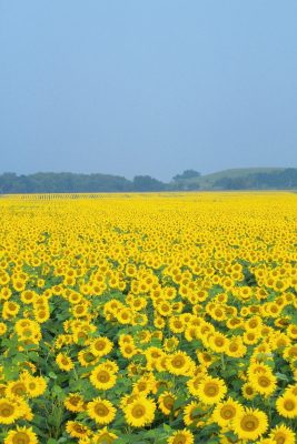 Sunflower Field Printed Vinyl Backdrop