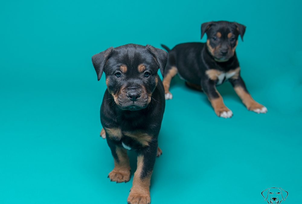 Playful Puppies Pose on Teal Seamless Paper