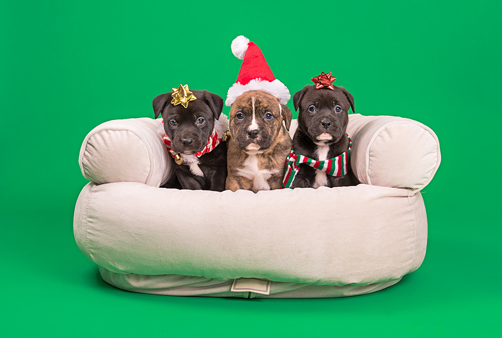Project Pet Portraits: Santa's Holly Little Helpers
