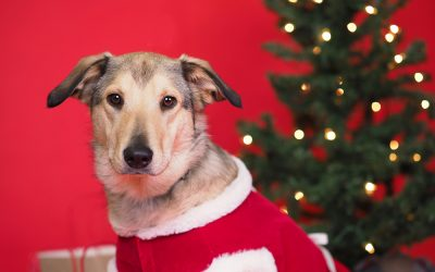 Capturing Holiday Pet Portraits